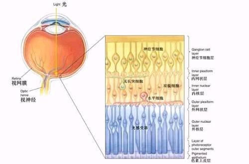 图5 视网膜结构及其神经元组成示意图